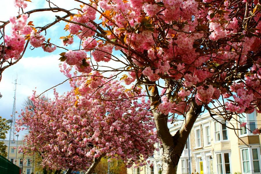 Dunlaoghaire Blossoms
